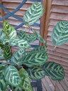 カラテア マコヤナ 4号 鉢植え 観葉植物 不思議な葉のカラテア マコヤナ