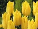 チューリップ JAPANフラワーバルブオブイヤー ストロングゴールド6球セット【チューリップ】【球根】【Tulip】販売 通販 種類