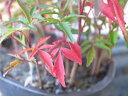 【ポイント10倍】ハゼの木 4号サイズ 紅葉が楽しめるミニ盆栽 鉢植えで高さ10cm 販売 通販 種類 10P03Sep16