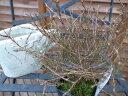 コプロスマ プルンネア 常緑低木 ワンランク上の寄せ植えに最適 販売 通販 種類