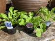 カンパニュラ 3株セット 切り花に最適♪イングリッシュガーデンにも人気の花 花苗 販売 通販 種類 10P03Dec16