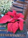 ポインセチア 3.5号サイズ クリスマス飾り トウダイグサ科 常緑低木 販売 通販 種類