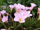 オキザリス ペンタローズ 花カタバミの別名をもつ丈夫な球根植物 糸葉に薄いローズピンクの花 花苗 販売 通販 種類