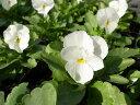 ビオラ ホワイト4株♪鮮度優先、生産農家、朝取り【花苗】【ビオラ】【種類】 10P03Dec16