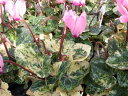 斑入り ガーデンシクラメン 花苗 花芽付 サクラソウ科 多年草 レアな斑入り品種 販売 通販 種類