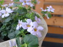 バコバ ラベンダーシャワー 淡いラベンダーカラーの小花で寄せ植えやハンギングに最適 ゴマノハグサ科