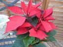 ポインセチア赤 4号サイズ 鉢植え クリスマスを飾る華やかなレッド 販売 通販 種類 10P03Dec16