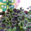 四つ葉のクローバー 陶器鉢 プレゼント 鉢植え 鉢花 リーフ 幸運を呼ぶ四葉クローバー 販売 通販 種類 バレンタイン プレゼント