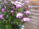 愛のかんざし ピンク大株 押し花にも人気の花 常緑低木 花苗 ガーデニング 販売 通販 種類