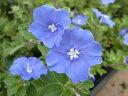 アメリカンブルー 苗 ブルーの花が咲くアメリカンブルー 【アメリカンブルー苗】【花苗】