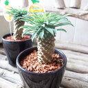 ユーフォルビア パイナップルコーン 3.5号サイズ 鉢植え 別名で蘇鉄キリン 【ユーフォルビア】ユーフォルビア サボテン同様で水も控えめ明るい室内で簡単に育つ ユーフォルビア