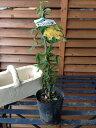 黄花 モッコウバラ【花苗】丈夫なつる性でトレリスやアーチ仕立てに最適なバラです 販売 通販 種類