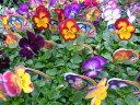 虹色スミレ大株3株セット カラフルな花色が冬期の花壇プランター等に最適 スミレ すみれ 販売 通販 種類