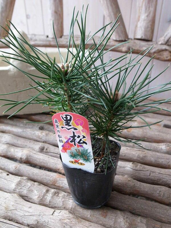 黒松 ミニクロマツ お正月の寄せ植えに欠かせない松 販売 通販 種類