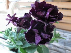 ブラック八重咲ペチュニア ジュリエット 花芽付 花苗 販売 通販 種類