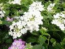 コバノランタナ ホワイト 暑さに強くテマリ状の純白の花 販売 通販 種類