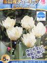 チューリップ球根 富山の清流チューリップB・ホワイトバレー5球【チューリップ】【球根】【Tulip】販売 通販 種類【ちゅーりっぷ】