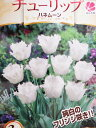 チューリップ球根 プレミアムチューリップ ハネムーン3球【チューリップ】【球根】【Tulip】販売 通販 種類【ちゅーりっぷ】