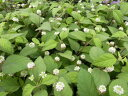 スイートメキシカンハーブ 葉は砂糖の1000倍の甘さがあり口の中に甘さがいっぱい広がるハーブ リッピア 販売 通販 種類スィートメキシカンハーブ 宿根草 リッピア 10P03Dec16