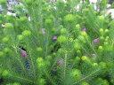 バーゼリア 不思議な草姿が魅力で切り花やブーケなどにも人気の花 販売 通販 種類