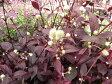 赤葉センニチコウ レッドフラッシュ 赤く染まるリーフと白の小花が魅力の植物 販売 通販 種類