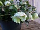 クリスマスローズ ウインターベル 5号サイズ 鉢植え/高さ30cm/ベルのように咲き誇る花/販売/通販/種類