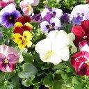 岐阜県産 パンジー 4株♪花色は当店販売の中からお任せの4株となります。鮮度優先、生産農家、朝取り【花苗】【パンジー】【種類】/販売/通販/種類