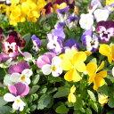 岐阜県産 ビオラ 4株♪花色は当店販売の中からお任せの4株となります。鮮度優先、生産農家、朝取り【花苗】【ビオラ】【種類】/販売/通販/種類