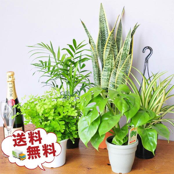 観葉植物 5株セット 4号サイズ 鉢植え 福袋 観葉植物セット 鉢植え観葉植物 グリーン観…...:auc-gifuryokuen:10002569
