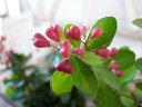 ハートツリー 4号サイズ/ハート型の実が付く楽しみな木/花言葉「小さな幸せ」/販売/通販/種類