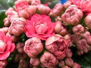 カランコエ ローズフラワーマドリッド 八重咲き