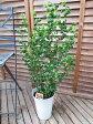 ベンジャミン バロック 6号サイズ 鉢植え 母の日 ベンジャミン 高さ60cm 観葉植物 送料無料 ベンジャミン 観葉植物 ベンジャミン 室内インテリア用 観葉植物 スタイリッシュな鉢植え 初任給 10P27May16