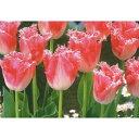チューリップ球根 JAPANフラワ−バルブオブイヤー・ファンシーフリル 6球【チューリップ】【球根】【Tulip】販売 通販 種類【ちゅーりっぷ】