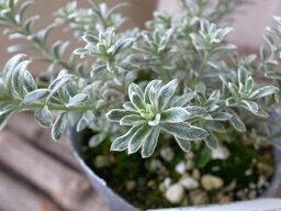 【ポイント10倍】オーストラリアンローズマリー スモーキーホワイト 苗 ホワイトの斑入り葉 販売 通販 種類