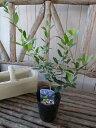 オリーブ ネバディロブランコ 大苗 シンボルツリー 観葉植物 販売 通販 種類 高さ40cm