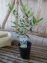 オリーブ ルッカ 大苗 シンボルツリー 観葉植物 販売 通販 種類 高さ40cm【ラッキーシール対応】