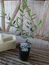 オリーブ シプレシーノ 大苗 シンボルツリー 観葉植物 販売 通販 種類 高さ40cm