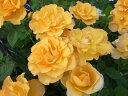 ミニバラ マンダリナコルダーナ 3.5号サイズ 鉢植え 販売 通販 種類 アンティークカラーのオレンジ 高さ20cm