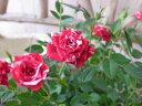 ミニバラ ゼブラ 3.5号サイズ 鉢植え 複色咲き レッド ホワイト 販売 高さ20cm