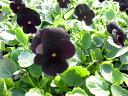 ビオラ ブラックディライト4株♪鮮度優先、生産農家、朝取り【花苗】【ビオラ】【種類】 10P03Dec16