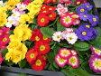 プリムラジュリアン ポニー苗5株セット カラフルな花 販売 通販 種類 花芽付