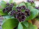 八重咲きジュリアン ロイヤルパープルエッジ 苗 販売 通販 種類 10P03Dec16