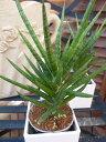 サンセベリア Francisii サンスベリア 珍しい品種 水控えめで容易に育てられます 観葉植物 鉢は3号サイズ高さ20cm