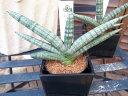 サンセベリア Boncellensis サンスベリア 珍しい品種 水控えめで容易に育てられます 観葉植物 鉢は3号サイズ