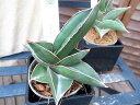 サンセベリア Ehrenbergii Samurai サンスベリア 珍しい品種 水控えめで容易に育てられます 観葉植物 鉢は3号サイズ