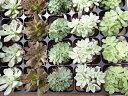 エケベリア3株 多肉植物 カラフル エケベリア3株セット タニクショクブツ 多肉女子 観葉植物 室内 多肉植物