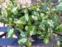 プミラ コアラ 苗 常緑蔓性低木 面白い斑入り葉が特徴で枝垂れるよう育つ植物 販売 室内 観葉植物 通販 種類