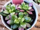 多肉植物 アナカンプセロス桜吹雪 3.5号サイズ タニクショクブツ 室内インテリア 植物