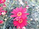 マーガレット ブリアンルージュ 3.5号 苗 花期のとても長い花 鉢植えで高さ25cm センチ