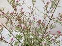 ボロニア ホワイトラブ 3.5号 苗 流通名 ボロニアピナータ 丸い蕾と直径2cm程のベル形や星形の花 ホワイト 植物 販売